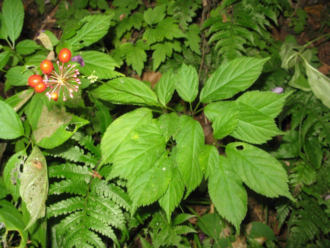 обязательно дальневосточные съедобные растения фото мила профессиональная информация