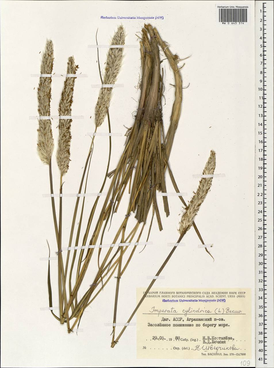 imperata cylindrica as papers essay Cogongrass (imperata cylindrica) for the latest in cogongrass treatment please read the following papers written by dr jim miller, usda forest service.